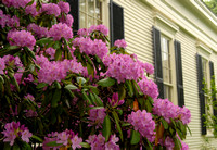 Rhododendrons in Bloom at Mystic Seaport